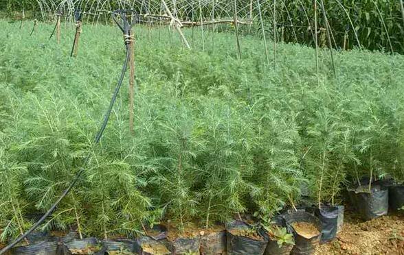 雪松适合什么土质栽生长?