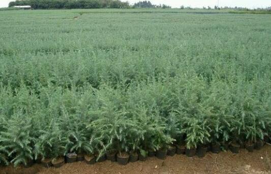 雪松籽要怎么种植?