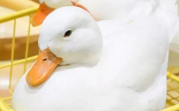 买回来的柯尔鸭好养吗?