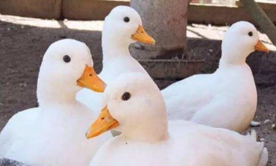 2021年柯尔鸭去哪里买?