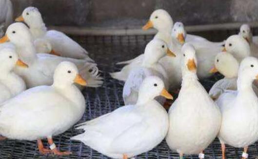 柯尔鸭吃什么长大?