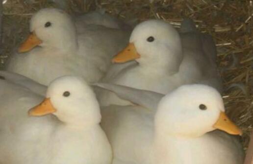 养殖的柯尔鸭多久下一次蛋?