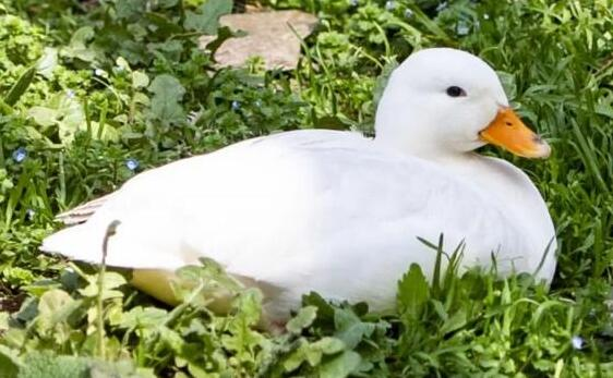 宠物柯尔鸭是什么鸭子?
