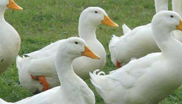 科尔鸭子的智商有多高?
