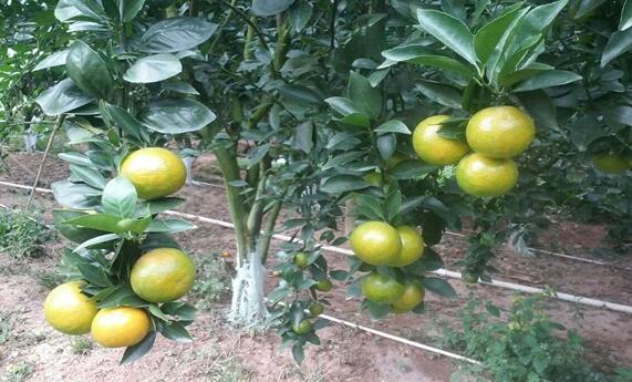 皇帝柑的种植时间一般是什么时候?