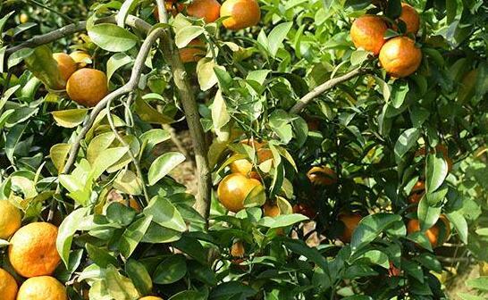 皇帝柑亩产一般多少斤?