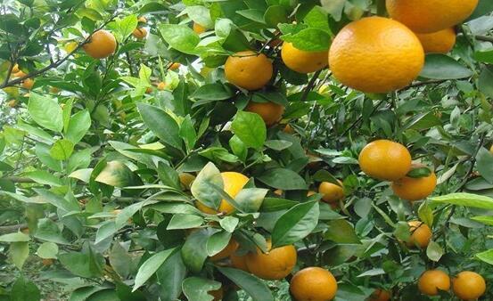 皇帝柑种植一般几年可结果?