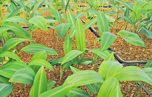黄精种苗什么时候种植好?