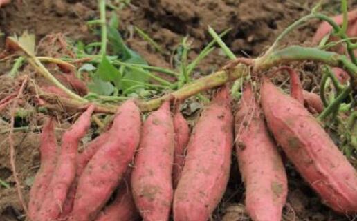 烟薯25亩产量是多少斤?