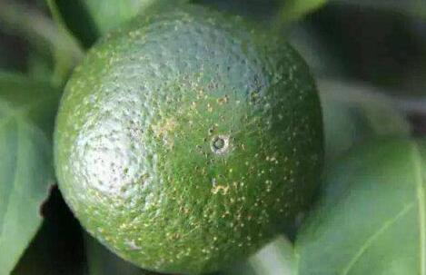 柑橘树脂病最有效的杀菌剂是什么?