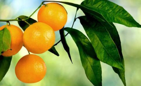柑橘的种植及管理技术主要有哪些?