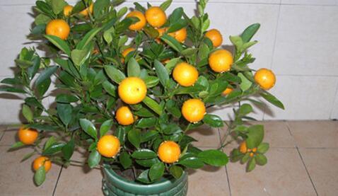 柑橘盆栽要怎么养好?