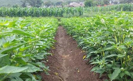 种小米椒一亩利润有多少?