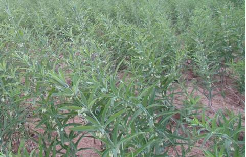 黄精种植用什么肥料长得快?