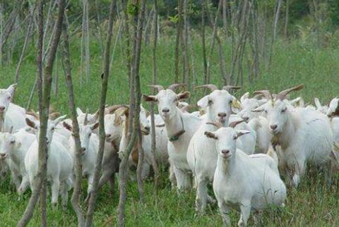 为什么新手养羊就是个坑十个就有九个亏本?