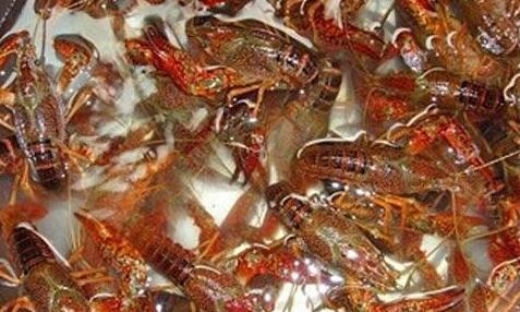 龙虾吃什么食物长大?