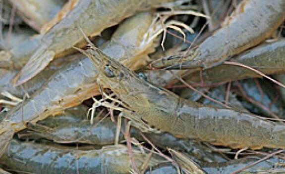 基围虾养殖周期一般多久?
