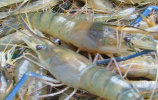 罗氏沼虾可纯淡水养吗?