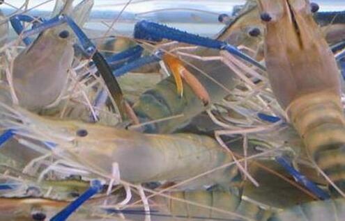 一亩塘养多少罗氏沼虾?