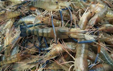 养殖沼虾一亩产量是多少?