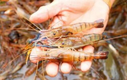沼虾是淡水虾吗?