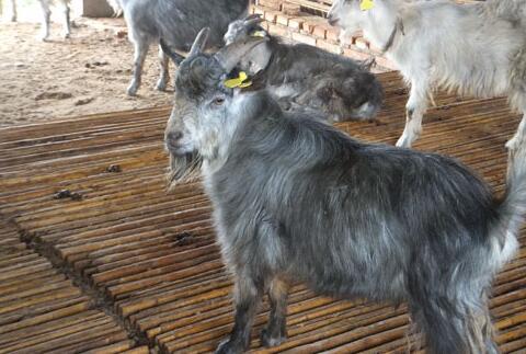 养殖1只青山羊的利润是多少?
