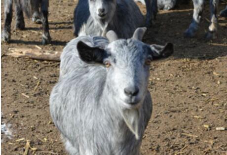 青山羊能长到100斤吗?