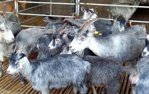 养殖青山羊多久出栏?