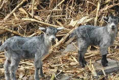 现在青山羊苗价格多少钱一只?
