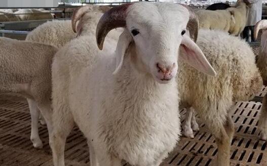 圈养小尾寒羊养殖技术有哪些?