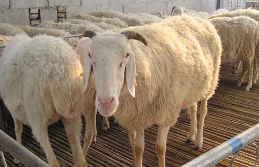 现在小尾寒羊价格要多少钱一斤?