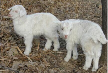 小尾寒羊羊羔价格要多少钱一只?