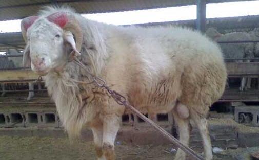 小尾寒羊和那个品种的羊杂交要好些?