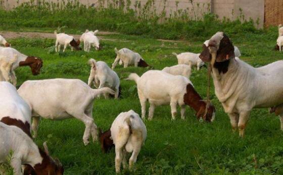 养殖的波尔山羊繁殖率高吗?