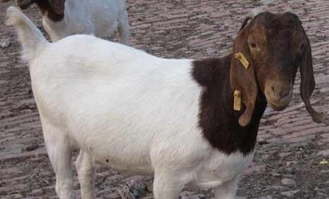 养殖波尔山羊能圈养吗?
