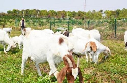养殖波尔山羊可以放养吗?