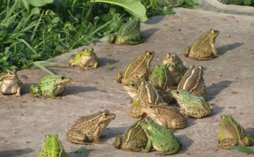 人工青蛙养殖亩产量多少斤?