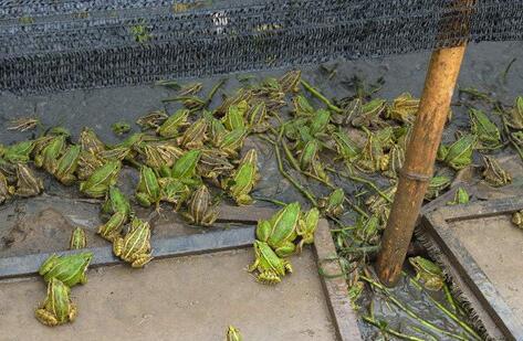 人工养殖青蛙吃什么饲料?