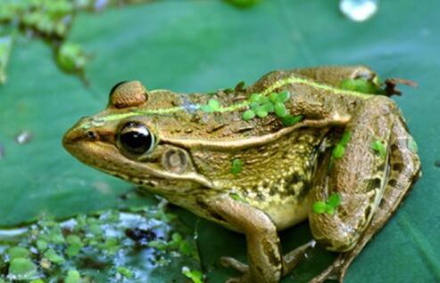 青蛙的种类主要有哪些?