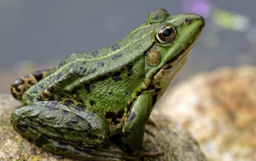 野生青蛙是保护动物吗?