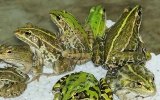 养殖青蛙没有水可以活多久?