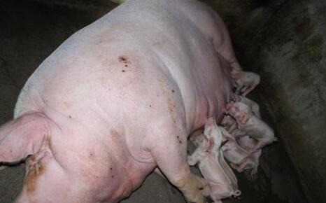 母猪产后不食特效药有哪些?
