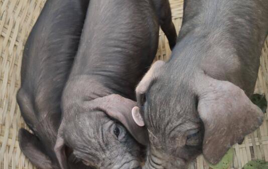 太湖原种小母猪价格要多少钱一头?