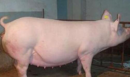 母猪产后不吃食用什么药?