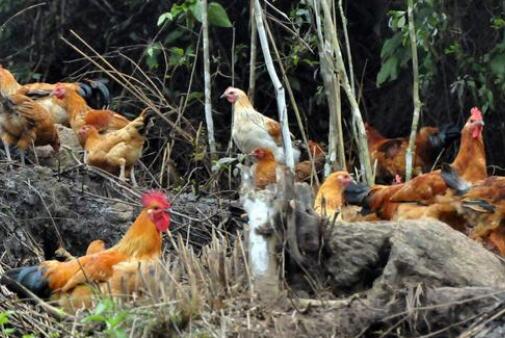 现在散养鸡1000只需投资多少?