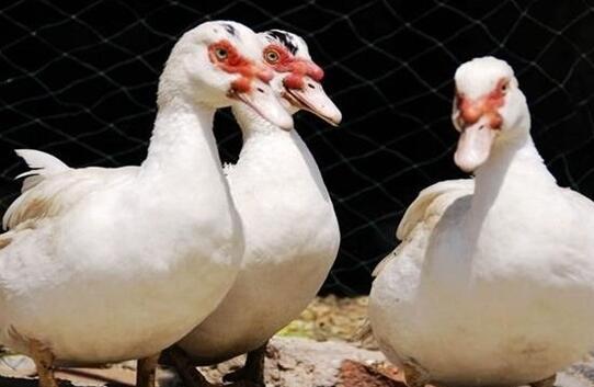 番鸭是旱养还是水养好?