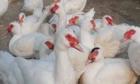 现在养殖番鸭需要注意什么?