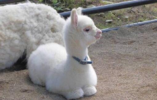 现在羊驼幼崽多少钱一只?