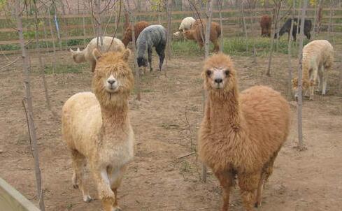 市场上小羊驼最便宜一只多少元?