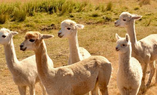 养羊驼的缺点有哪些?